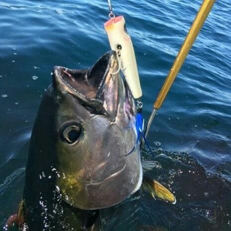 gaffed tuna.jpg