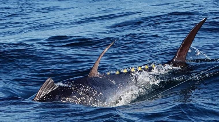 giant tuna at boat