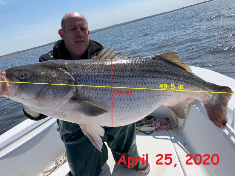 Vinny 49.5 inch bass